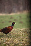 Wilde mannelijke fazant Stock Foto's