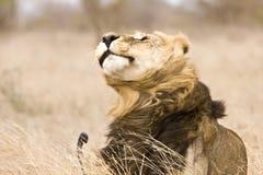 Wilde mannelijke leeuw die, het Nationale park van Kruger, Zuid-Afrika schudden Royalty-vrije Stock Foto's