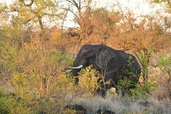 Wilde mannelijke olifant op zonsondergang, in de struik, Kruger, Zuid-Afrika Royalty-vrije Stock Foto