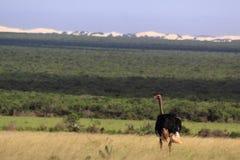 Wilde mannelijke struisvogel Zuid-Afrika Stock Fotografie