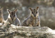 Wilde mareeba Felsenwallabys, Mitchell-Fluss, Steinhaufen, Queensland, stockfotografie