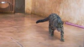 Wilde marmeren richels in de dierentuin stock video