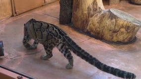 Wilde marmeren richels in de dierentuin stock footage