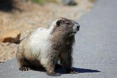 Wilde marmot Royalty-vrije Stock Foto's