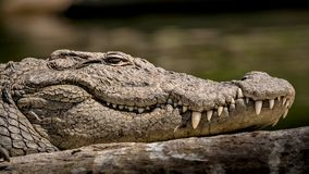 Wilde Marsh Crocodile-Nahaufnahme, mit Augen, Haut-Beschaffenheit und Zähne kopiert sichtbares lizenzfreie stockfotografie