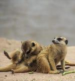 Wilde meerkats royalty-vrije stock fotografie
