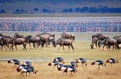 Wilde meest beest migratie in Tanzania stock afbeeldingen