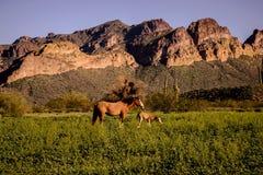 Wilde merrie en haar veulen die zich in lang gras bevinden Stock Fotografie