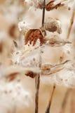 Wilde Milkweedhülsen, die getrocknet werden und weg geschwommen sind Stockbild