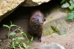Wilde mink (mustela vison). stock foto