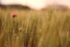 Wilde Mohnblume-Blume Lizenzfreie Stockfotos