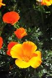 Wilde Mohnblumen Stockbild