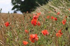 Wilde Mohnblumen auf einem Gebiet lizenzfreies stockbild