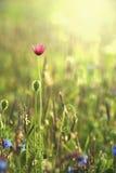 Wilde Mohnblumen gegen Morgenleuchte Stockfotografie