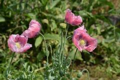 Wilde Mohnblumenblumen und Büsche 2 Stockbilder