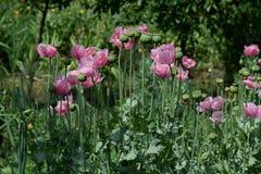 Wilde Mohnblumenblumen und Büsche 3 Lizenzfreie Stockfotos
