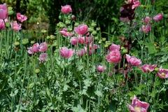Wilde Mohnblumenblumen und Büsche 4 Stockbild