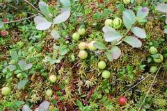 Wilde Moosbeeren singen im Sumpf Stockbilder