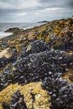 Wilde mosselen langs de kust Stock Foto