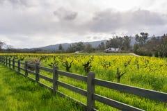 Wilde mosterd in bloei bij een wijngaard in de lente, Sonoma-Vallei, Californië royalty-vrije stock foto's
