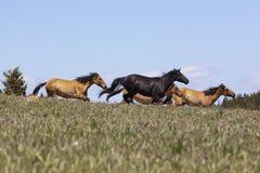 Wilde Mustangen stock foto