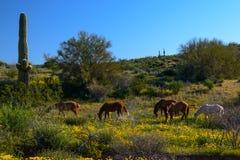 Wilde Mustangs in der Wildflower-Wüste Stockbild