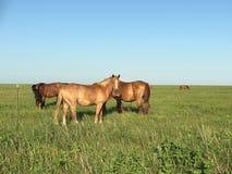 Wilde Mustangs, die im Flinthills weiden lassen Stockbilder