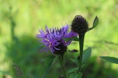 Wilde mutige Blume lizenzfreie stockfotos