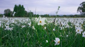 Wilde narcissuses die op groen de lentegebied bloeien in natuurreservaat royalty-vrije stock foto's