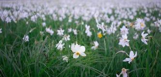 Wilde narcissuses die op groene de lenteweide bloeien in natuurlijk pari stock foto's