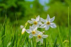Wilde Narzissenblumen Stockbild
