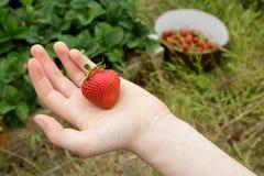 Wilde natürliche rote Erdbeere in der Kinderhand mit G Stockfotografie