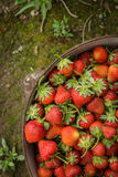 Wilde natürliche rote Erdbeeren, Erdbeere im rustikalen Eisen-Topf Lizenzfreies Stockfoto