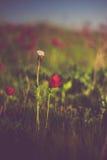 Wilde Natur-Anemonen Stockbild