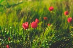 Wilde Natur-Anemonen Lizenzfreie Stockfotografie