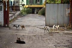 Wilde obdachlose Hunde am Eingang zum Industriegebiet Lizenzfreie Stockbilder