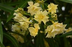 Wilde Oleander (Nerium o.) Royalty-vrije Stock Afbeelding