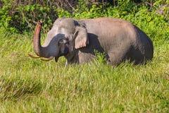Wilde olifant (Aziatische olifant) Stock Afbeeldingen