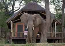 Wilde olifant die zich naast het tentkamp bevinden zambia Lager Zambezi Nationaal Park stock foto