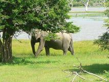 Wilde olifant op zijn eigen teritory Stock Foto