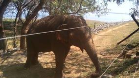 Wilde olifant in Sri Lanka Stock Afbeelding