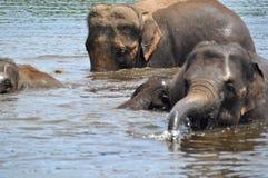 Wilde olifanten royalty-vrije stock fotografie