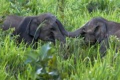 Wilde olifanten die naast de weg dichtbij Habarana in Sri Lanka spelen royalty-vrije stock afbeeldingen