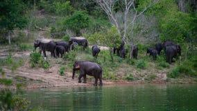 Wilde Olifanten door de vijver stock foto