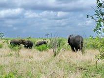 Wilde olifanten op de aandrijvingssafari van het ochtendspel Stock Afbeelding
