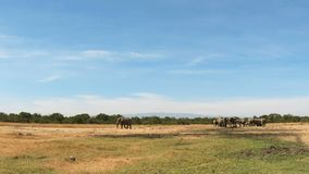 Wilde olifanten op een gebied stock videobeelden
