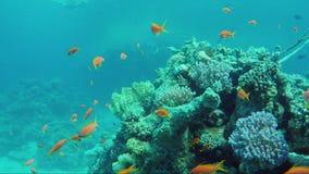 Wilde onderwaterwereld met koralen en kleurrijke exotische vissen Rode Overzees op Sharm el Sheikhgebied stock footage