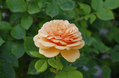 Wilde Orange Rose Flower im Garten Stockbilder