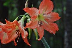 Wilde Orangen-Lilie Stockbild