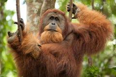 Wilde orangoetan Stock Afbeelding